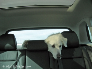 Riding to the vet, Katie is sad!